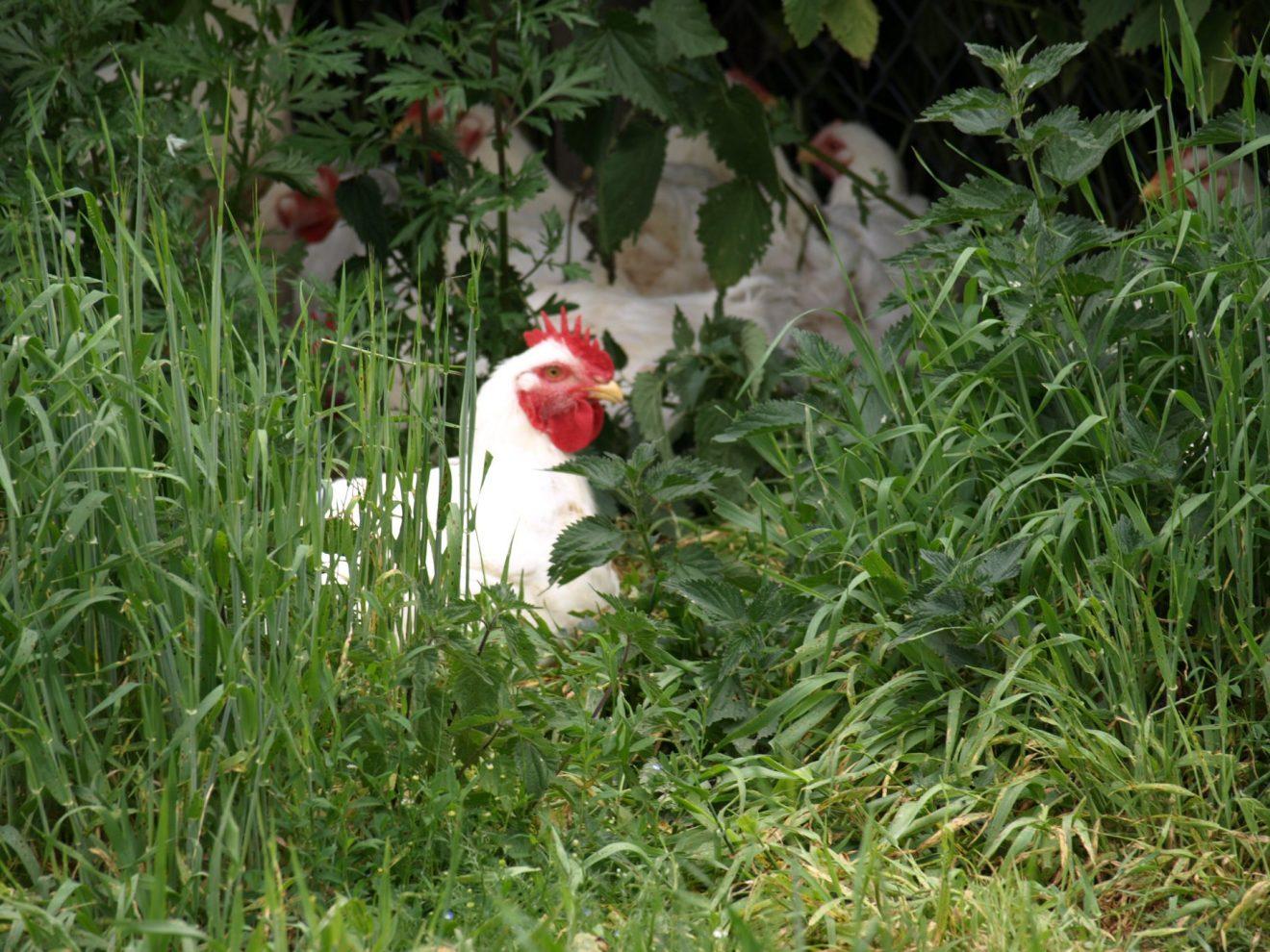 Bestil fersk kylling til Sankt Hans
